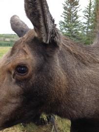Yep, i was pretty close to this moose